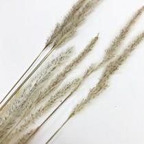 花束系列-狐狸草